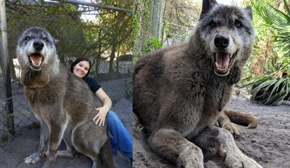 Giant Wolf Yuki Dropped Off At Kill Shelter Rescued By